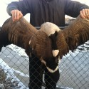 Canada Goose Feathers Wanted