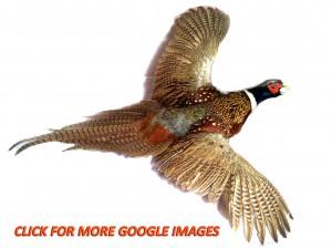 pheasant image