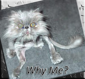 weird-gray-cat-memes-why-me