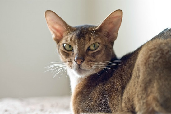 The Abyssinian cat breed.