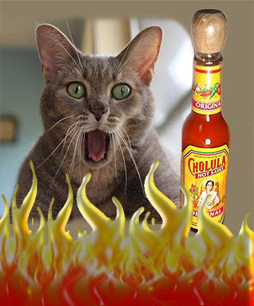 cholula hot sauce cat
