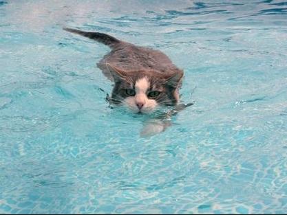 cats swimming