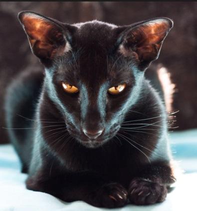 https://www.cattamboo.com/wp-content/uploads/2016/01/ORIENTAL-CAT.jpg